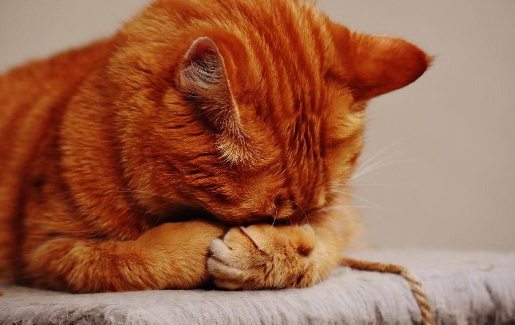 orange cat sleeping on own paw